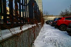 The leaves of the hedge in winter. In Moscow Royalty Free Stock Image