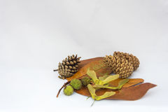 Leaves, helicopter seeds, and small conker shells and pinecones on a white background Royalty Free Stock Photography