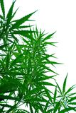 A leaves of hemp. Closeup on white background Stock Image