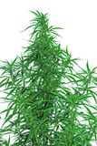 A leaves of hemp Stock Images