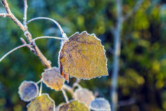 Leaves with hoar frost in winter Royalty Free Stock Image
