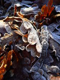 Leaves with hoarfrost Stock Images