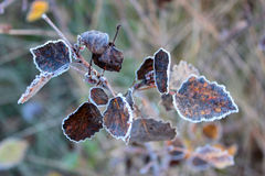 Leaves with hoarfrost Royalty Free Stock Photo