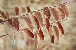 Leaves in hoarfrost Royalty Free Stock Photography