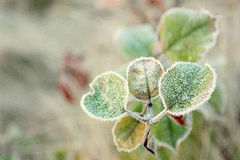 Leaves with hoarfrost. Green leaves in autumn frosty morning Royalty Free Stock Image