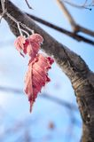 Leaves in hoarfrost. Royalty Free Stock Image