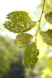 Leaves with Holes Royalty Free Stock Photo