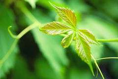 Leaves of a hops close-up Stock Photo
