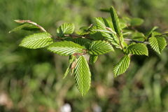 Leaves of hornbeam in spring Stock Images