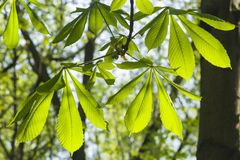 Leaves of horse chestnut tree in morning sunligh, shallow DOFt, selective focus Royalty Free Stock Image