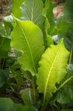 Leaves of horseradish Royalty Free Stock Photography