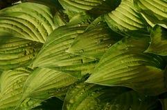 Leaves of Hosta Stock Image