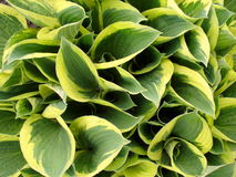 Leaves of a hosta Stock Images