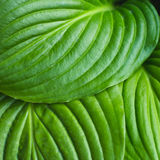 The leaves of Hosta Royalty Free Stock Photos