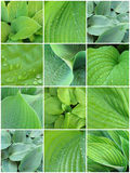 Leaves_hosta_varieties Image stock