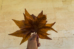 Leaves i hand Royaltyfria Bilder
