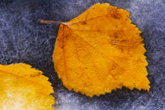 Leaves in the ice. Golden  leaves in the ice Stock Photography