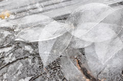 Leaves of Ice. A group of leaves made of ice in the winter Royalty Free Stock Photography