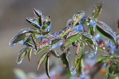 Leaves in ice captivity Royalty Free Stock Photo