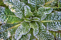 Leaves with ice crystals Royalty Free Stock Images