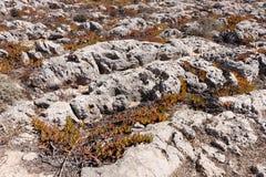 Leaves of the Ice plant, Carpobrotus edulis Royalty Free Stock Images