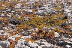 Leaves of the Ice plant, Carpobrotus edulis Royalty Free Stock Photos