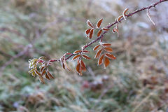 Free Leaves In The Frost Stock Photography - 82337002