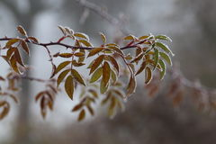 Free Leaves In The Frost Royalty Free Stock Image - 82339386