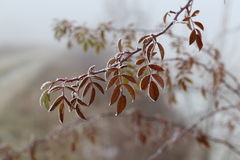 Free Leaves In The Frost Stock Photos - 82340323