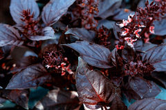 Leaves and inflorescences of purple basil. Stock Photos