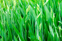 The leaves of irises. The photo shows the dense foliage of irises, which have not yet blossomed Stock Photography