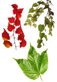 Leaves isolated Royalty Free Stock Photography