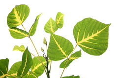 Leaves isolated Royalty Free Stock Photo