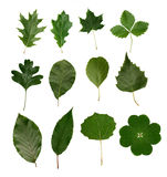 Leaves isolated. Isolated leaves of different tree species Stock Images