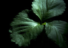 Leaves. Isolated on black background Royalty Free Stock Photography