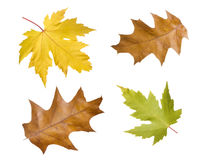 Leaves isolated. Four autumn leaves, foliage isolated with white background Stock Images