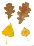 Leaves isolated on white background Royalty Free Stock Photo
