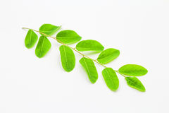 Leaves. An isolated leaves on white background Royalty Free Stock Photography