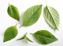 Leaves of Italian basil Stock Image