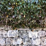 Leaves of ivy covering the stone wall. Stone Wall. Green ivy leafs on a white stone wall background. Royalty Free Stock Photos