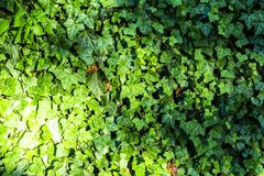 Leaves of ivy covering the wall stock photography