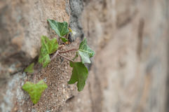 Leaves of ivy in a stoned wall. Closeup of leaves of ivy in a stoned wall Stock Photography