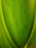 Leaves of ' Jamaica sago tree ' Royalty Free Stock Photography