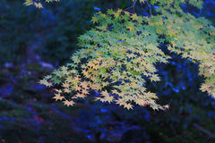 Leaves in japan garden at Kyoto, japan Royalty Free Stock Photography