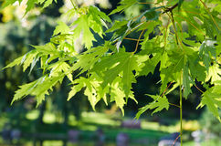 The leaves of the Japanese maple Royalty Free Stock Image