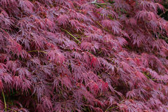 Leaves of japanese maple acer palmatum Royalty Free Stock Photo
