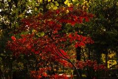 Leaves of japanese maple tree stock photo