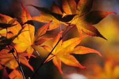 Leaves of Japanese Maple Tree. Colorful autumn leaves of Japanese Maple tree lit with sun Royalty Free Stock Image