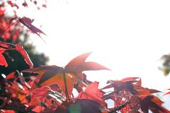 Close up Japanese maple leaves in autumn or fall with sun in the back ground on a sunny day with copy space. Leaves of Japanese maple tree in the sky with copy royalty free stock image
