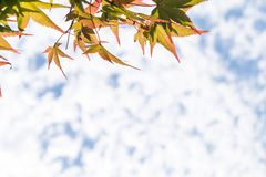 Close up photo pf Japanese maple leaves in autumn or fall on a sunny day with copy space, sky and clouds in the background. royalty free stock photos